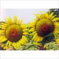 Suryaprabha Sunflower Seeds