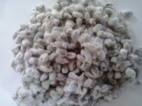 Supreme Quality Indian Cotton Seed