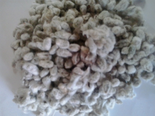 Prime Quality Indian Cotton Seed