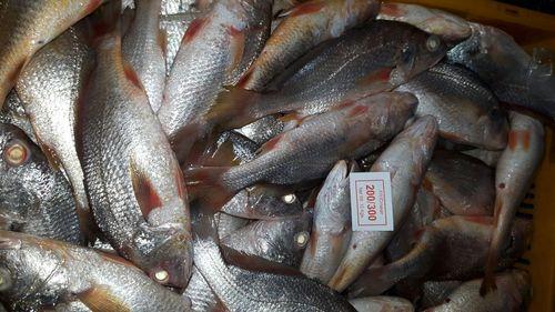 Yellow Croaker Fishs