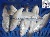 Silver Croaker Fish Veraval
