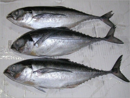 Indian Horse Mackerel