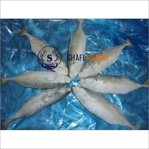 Indian Mackerel Fish Veraval