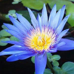 Blue Lotus Absolute Oil