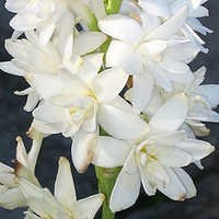 rajni gandha ( tuberose) attar