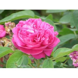 rosa damascena oil