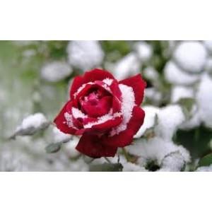Rose Water Grade A