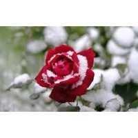 rose water grade 1