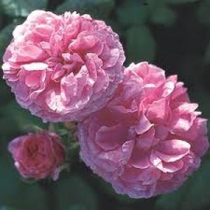 rose de absolute