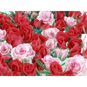rose attar grade 02