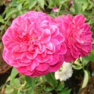 Rose De Mai Absolute Oil