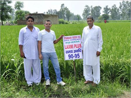 Organic Paddy Seeds
