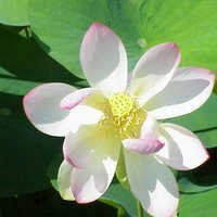 White lotus attar