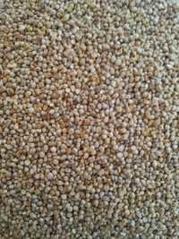 Green Millet For Animal Feed