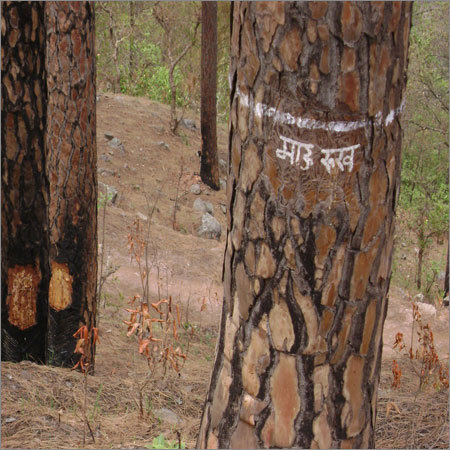 Mother Trees are left within tapping areas for natural regeneration of pine trees