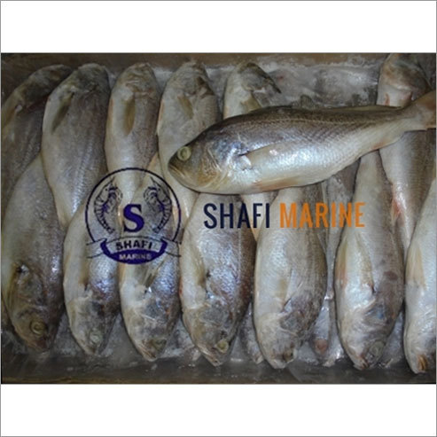 Frozen Silver Croaker India
