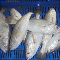 Frozen Silver Croaker Exporter