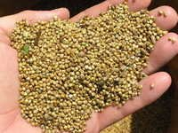 Raw Wheat Pearl Millet