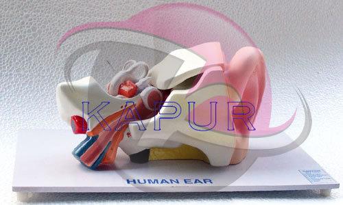 Human Ear Model