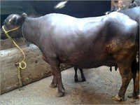 Indian Murrah Buffalo
