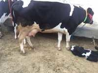 Holstein Friesian Cows