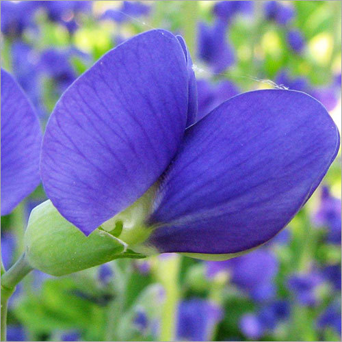 Baptisia False Blue Indigo