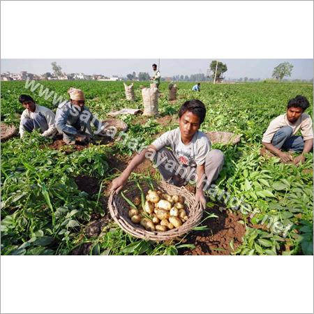 Kufri Jyoti Potato - Kufri Jyoti Potato Exporter, Importer
