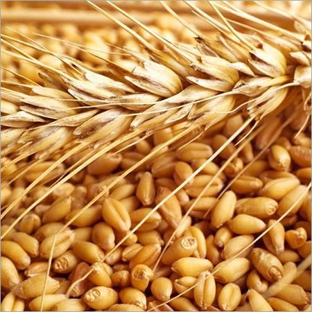Raw Wheat Seed