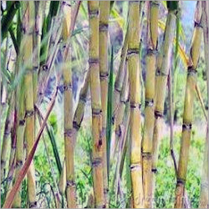 Sugarcane Plants Services