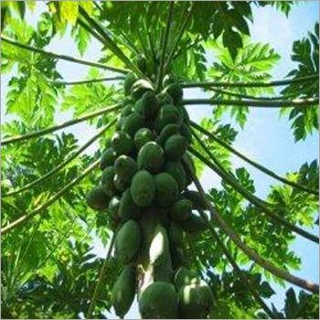Papaya Plants Services