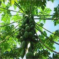 Papaya Plants Services