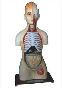 HUMAN ANATOMICAL MODELS
