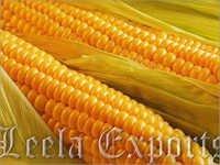 yellow corn maize