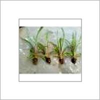 Tissue Culture Sugarcane Plants