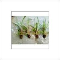 Tissue Culture Sugarcane Plants
