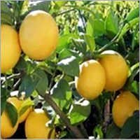 kinnu fruits plants