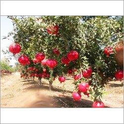 Tissue Culture Pomegranate Plants