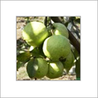 VNR BIHI Guava Plant