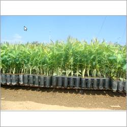 Eucalyptus Clonal Plants