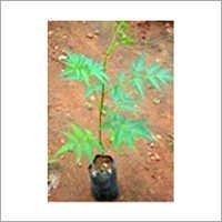 Malbari Neem Plant