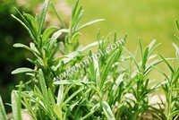 Non Organic Herbs
