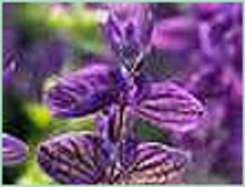 CLARY SAGE CHINA OIL