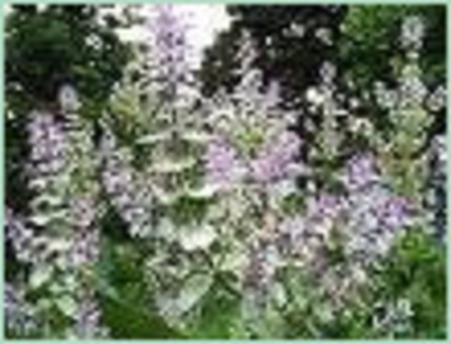 CLARY SAGE RUSSIA OIL