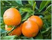 CLEMENTINE OIL