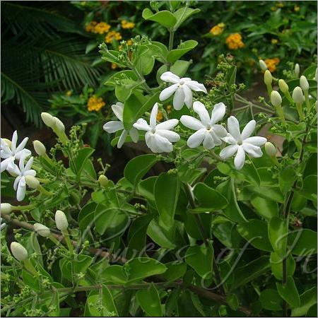 Jasminum Auriculatum Absolute