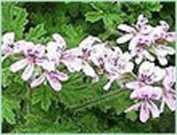 GERANIUM CHINA OIL