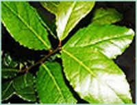 LAUREL LEAF OIL