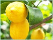 LEMON 5 FOLD OIL