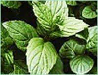 MENTHA PIPERITA USA OIL