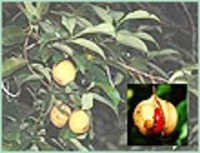 NUTMEG OIL SRI LANKA